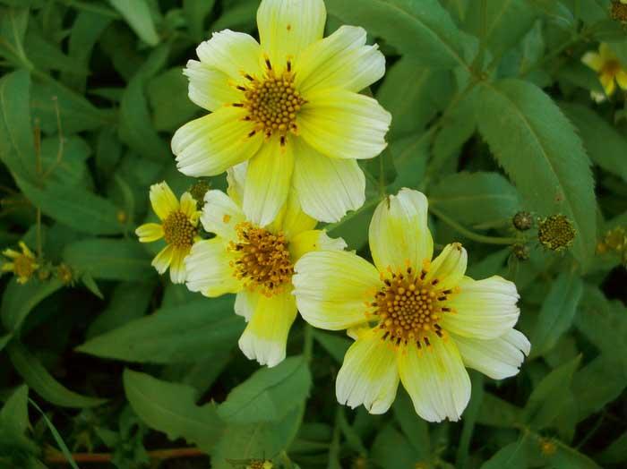 Las plantas invasoras de la Axarquía (XVI):  El té americano (Bidens aurea)