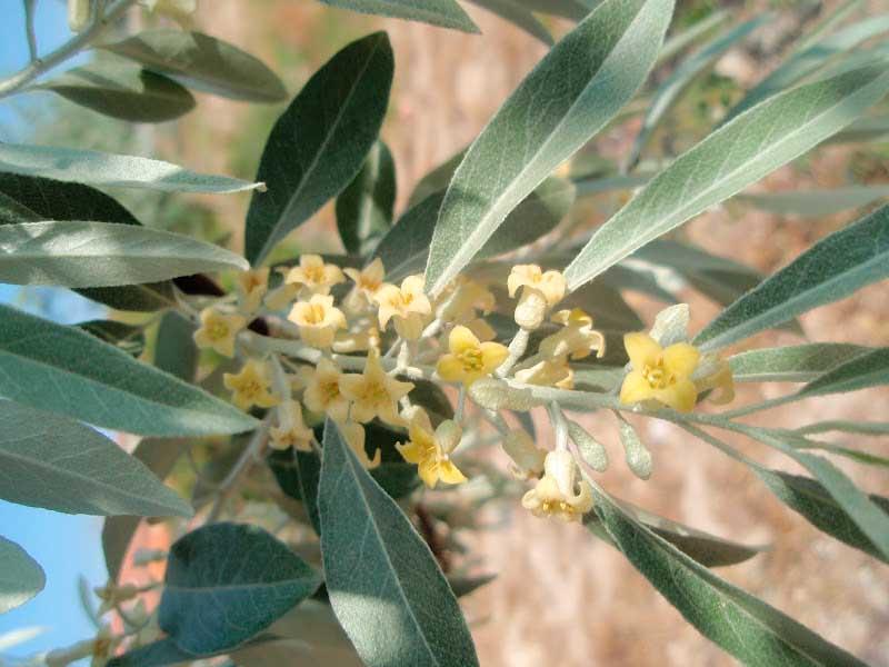 Las plantas invasoras de la Axarquía (XXVI):  El cinamono (Elaeagnus angustifolia)