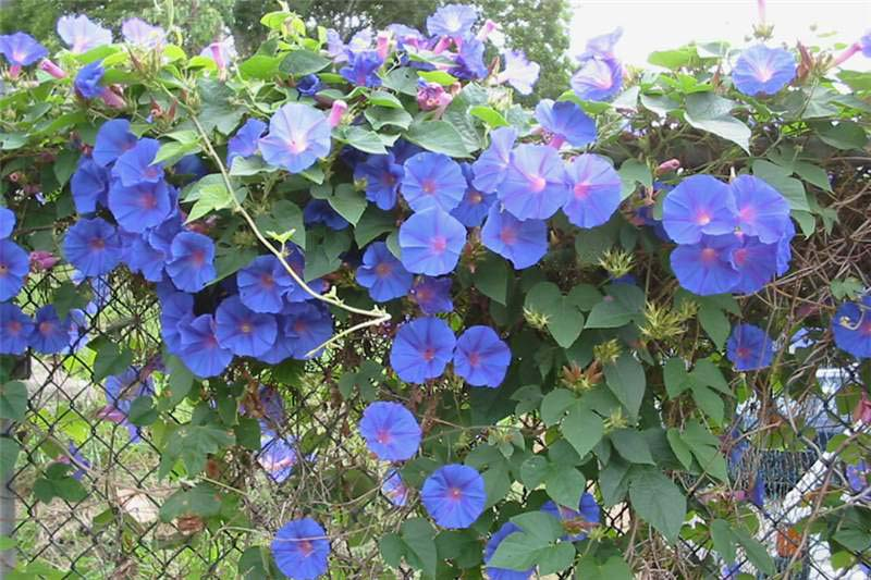 Las plantas invasoras de la Axarquía (XXIX):  La campanita (Ipomea indica)